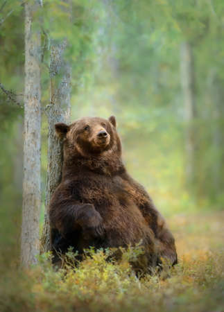 Eurasian brown bear sitting against a tree in the Finnish forest.