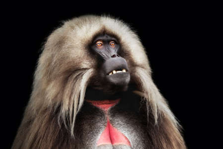 Portrait of male Gelada monkey (Theropithecus gelada) against dark background, Simien mountains, Ethiopia.