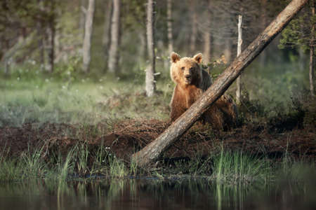 Eurasian Brown bear standing by a pond in the Finnish forests in summer. Foto de archivo