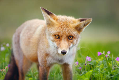 Close up of a Red fox (Vulpes vulpes) in the field of flowers.