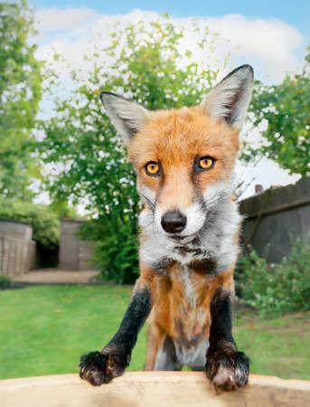Portrait of a red fox (Vulpes vulpes) in the garden, London, UK. Foto de archivo