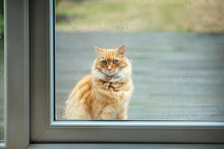 Ginger cat waiting by a patio door on a rainy day, UK.