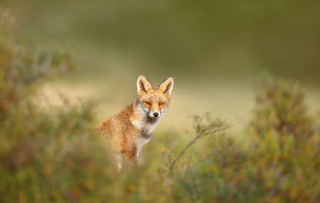 Close up of a cute Red fox (Vulpes vulpes) in the meadow, Netherlands. Foto de archivo