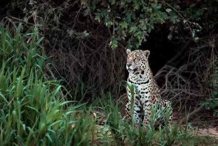 Close up of a Jaguar on a river bank in natural habitat, Pantanal, Brazil. Foto de archivo