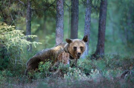 Close up of Eurasian brown bear (Ursus arctos arctos) in a misty forest in Finland. Eurasian mammals in the wild.