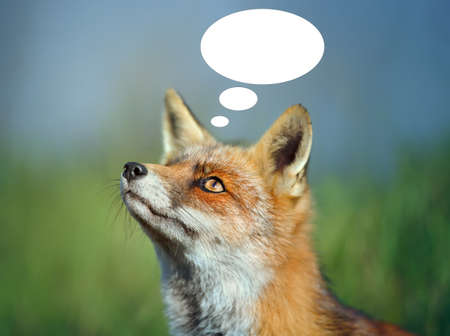 Cute portrait of a Fox with thought bubble on colorful background.