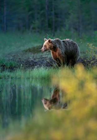 Eurasian Brown bear standing by a pond in the Finnish forests in autumn.