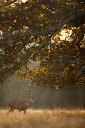 Close up of a Red Deer on a misty autumn morning at sunrise, UK.