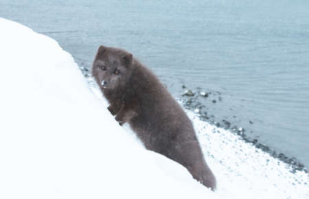 Close up of an Arctic fox on a coastal area in winter, Iceland.
