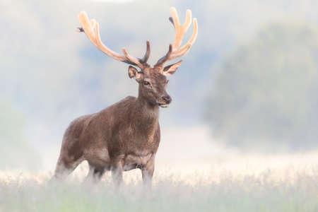 Close up of a red deer stag with velvet antlers on a misty summer morning, United Kingdom. Foto de archivo