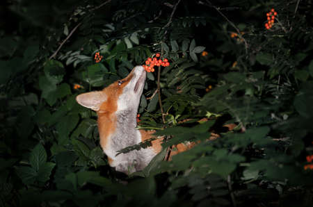 Close up of a Red fox (Vulpes vulpes) cub smelling rowan berries in late summer, UK.