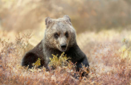 Close up of a cute Eurasian Brown bear cub in forest, autumn in Finland.