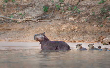 Close-up of a family of Capybaras in water, South Pantanal, Brazil.