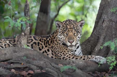 Close up of a Jaguar (Panthera onca) lying on a river bank, Pantanal, Brazil.