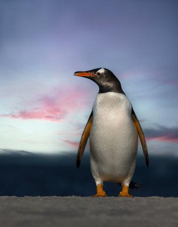 Close up of a Gentoo penguin at sunset, Saunders, Falkland Islands.