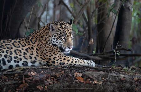 Close up of a Jaguar lying on tree roots on a river bank, Pantanal, Brazil. Foto de archivo