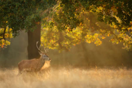 Close up of a Red Deer on a misty morning at sunrise, UK.