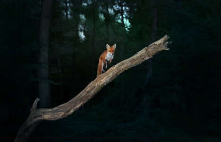 Red fox (Vulpes vulpes) on a tree branch against dark background in the forest, UK.