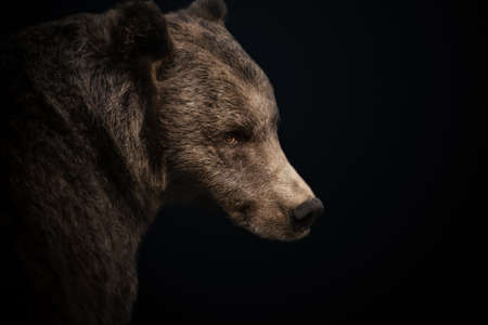 Portrait of Eurasian Brown bear against black background, Finland.