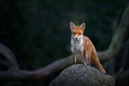 Close up of a Red fox (Vulpes vulpes) cub standing on a tree in forest, UK.