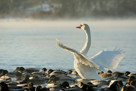 trumpeter swan: Trumpeter swan stretches its wings. Early morning fog rising off water.