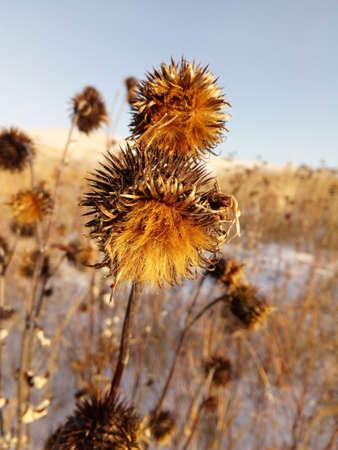 Wild nature of Siberia winter close-up dry beautiful flowering thistle. Stockfoto