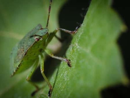 piojos: Bug verde en una macro de la hoja