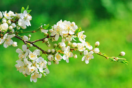 Blooming wild plum treewhite flowers in small clusters on a stock blooming wild plum treewhite flowers in small clusters on a wild plum tree branch mightylinksfo