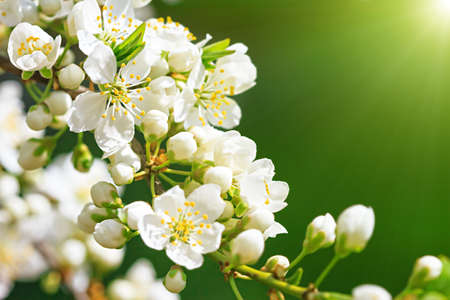 Blooming wild plum tree in sunlightwhite flowers in small clusters blooming wild plum tree in sunlightwhite flowers in small clusters on a wild plum mightylinksfo