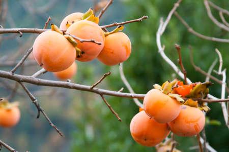 Tree of Khaki in December - Sardinia