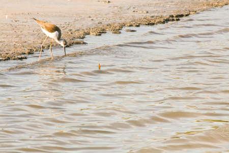 birding: Himantopus himantopus in cagliari saline, sardinia.