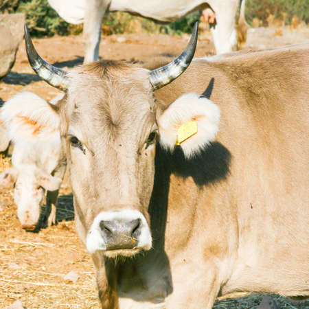 bovid: curious calf look at me in the conuntry side