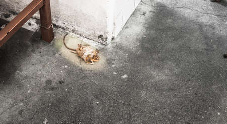 rata: El resultado de un control de roedores. Las ratas murieron después de una desinfección. Foto de archivo