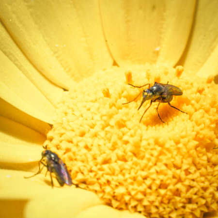 happens: Feast insects pollen. What happens in a daisy field Stock Photo