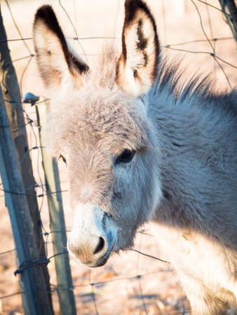 stubbornness: little donkey headstrong. Little donkey featured Stock Photo