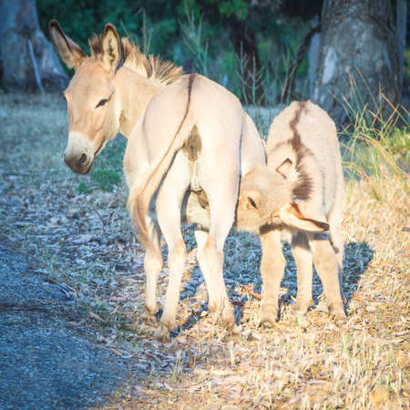 baby ass: nursing donkey sunset. Little donkey drink milk from its mum Stock Photo
