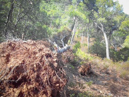 desertification: uprooted tree in the woods. Concept of desertification and destruction of the environment