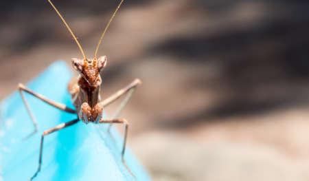 curios: praying mantis look at me. praying mantis in phase brown