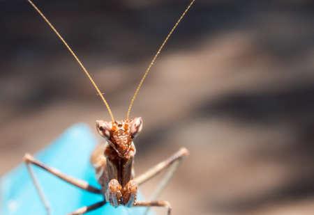 predatory insect: praying mantis look at me. praying mantis in phase brown