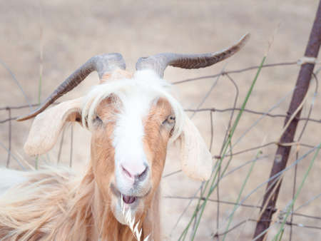 disheveled: goat disheveled in campaign. Funny image of a goat Stock Photo