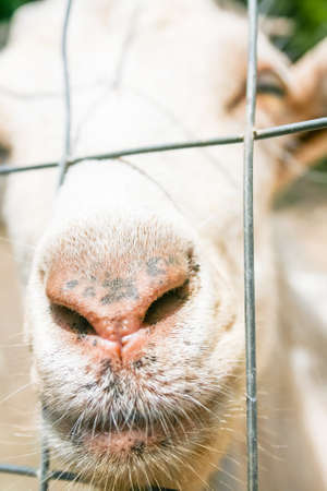 goat peach: goat curious nose. A goat sniffs over the fence and asks for salt and food