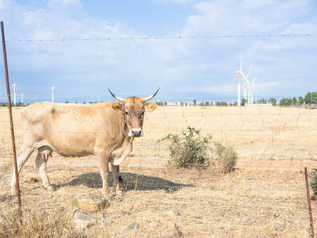 bovine: Bovine Turbines country. Curios Bovine look at me in the country Stock Photo