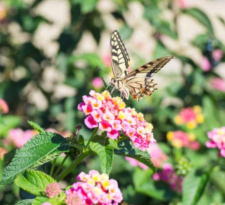 background green: Papilio machaon Butterfly. Specimen of Papilio machaon Butterfly photographed in Sardinia in autumn Stock Photo