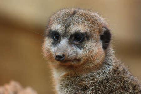 meerkat Stock fotó - 3701061