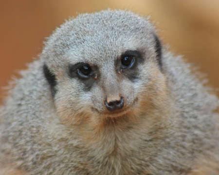 meerkat Stock fotó - 3701058