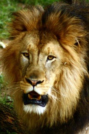 lion Stock fotó