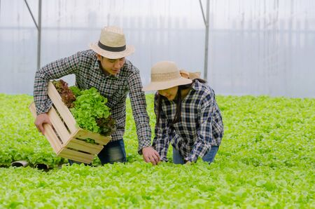 young asian couple farmer harvesting fresh green oak lettuce salad, organic hydroponic vegetable in greenhouse garden nursery farm, agriculture business, organic vegetable farm, healthy food concept Banco de Imagens