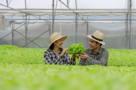 friendly farmer, agronomist harvesting fresh green oak lettuce salad, organic hydroponic vegetable in greenhouse garden nursery farm, agriculture business, organic vegetable farm, healthy food concept 版權商用圖片