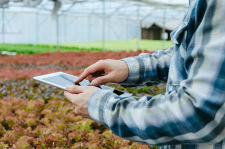 agronomist hand using digital mobile tablet for checking fresh green oak lettuce salad, organic hydroponic vegetable in greenhouse garden nursery farm, digital technology, agriculture business concept