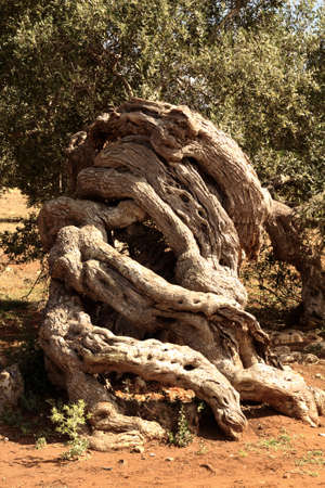 Tangle of olive trees photo